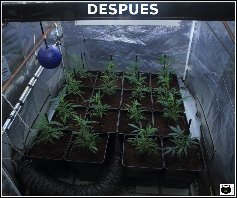 Cultivo-de-marihuana-coco-choco-esto-marcha-ramas-bajeras--con-tutor-1