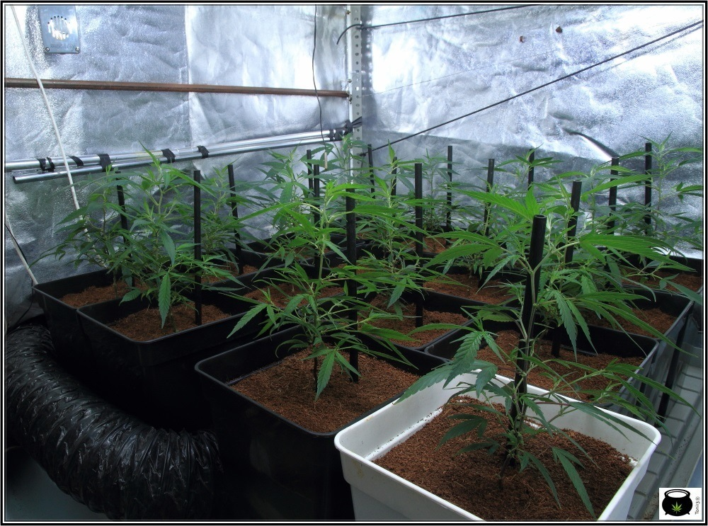 cultivo-de-marihuana-coco-y-choco-crecimiento-y-nutricion-armario-interior