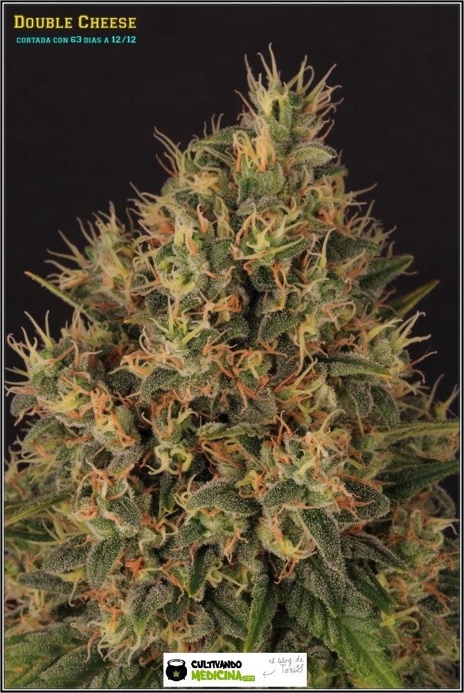 seguimiento-marihuana-variedades-Venus-Genetics-3