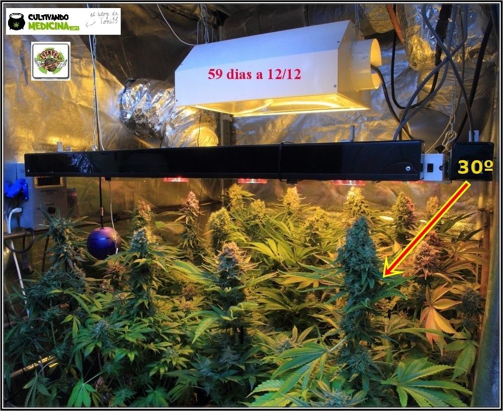 cultivo-variedades-marihuana-Venus-Genetics-1