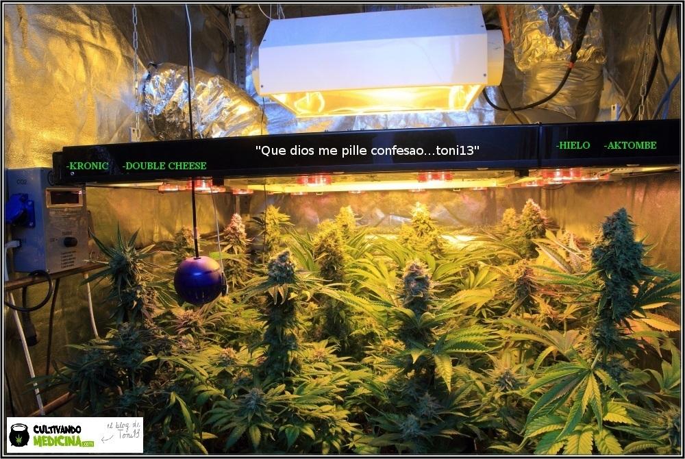 cultivo-variedades-marihuana-Venus-Genetics-2