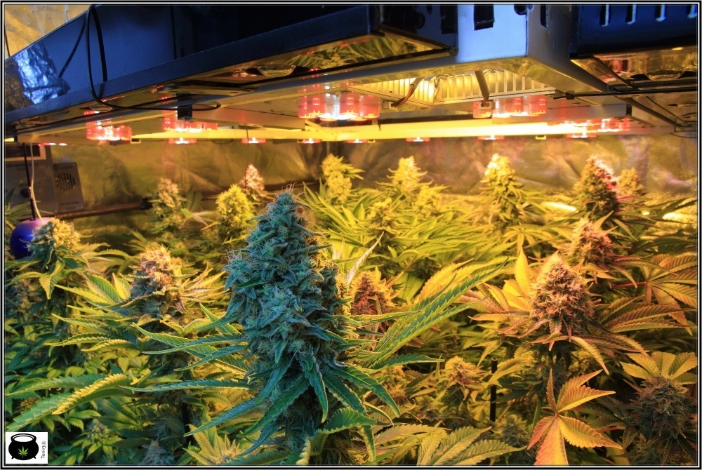 cultivo-variedades-marihuana-Venus-Genetics-3