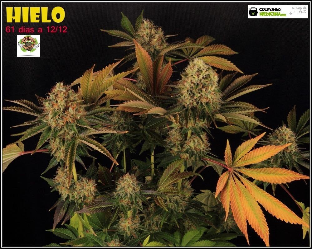 variedades-marihuana-hielo-Venus Genetics-hojas-especiales-1