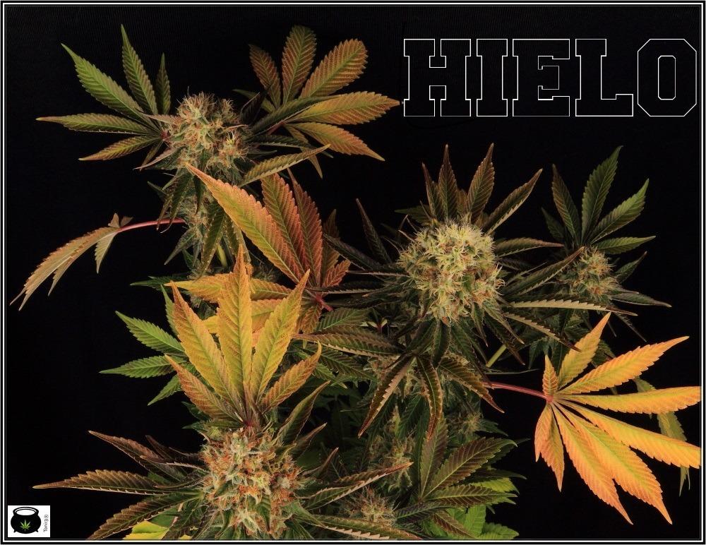 variedades-marihuana-hielo-Venus Genetics-hojas-especiales-2