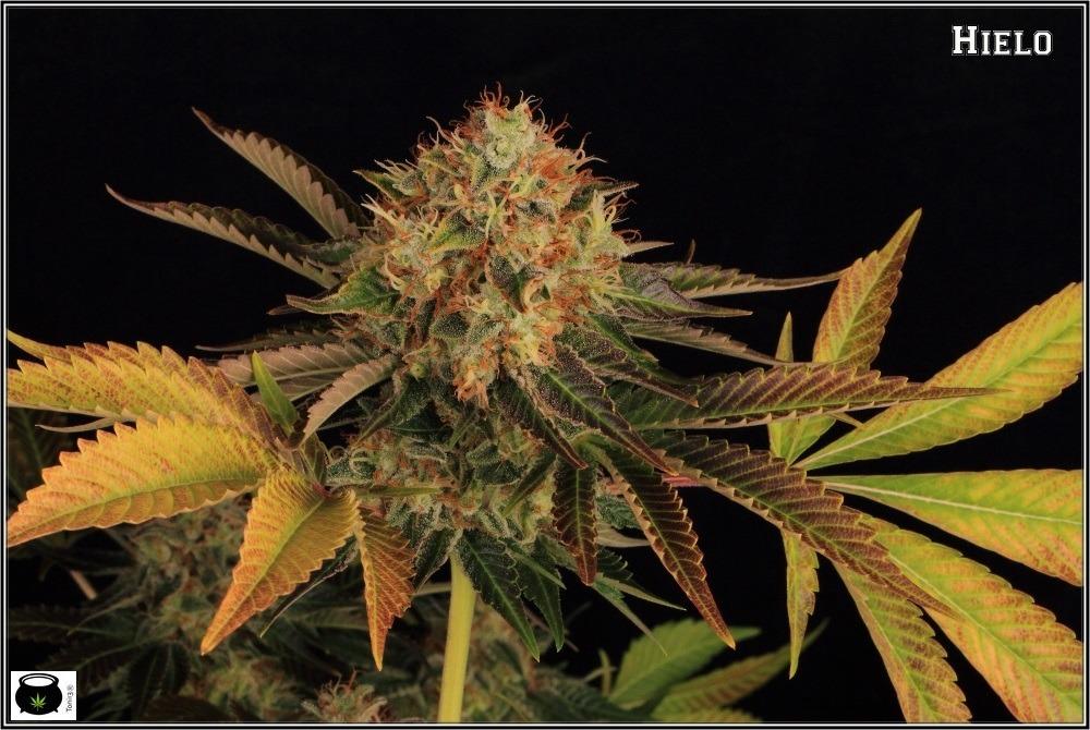 variedades-marihuana-hielo-Venus Genetics-hojas-especiales-3