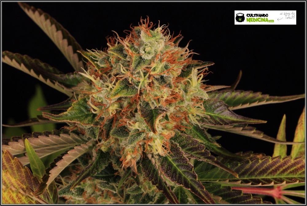 variedades-marihuana-hielo-Venus Genetics-hojas-especiales-4