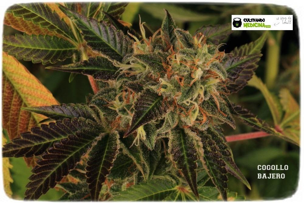 variedades-marihuana-hielo-Venus Genetics-hojas-especiales-7
