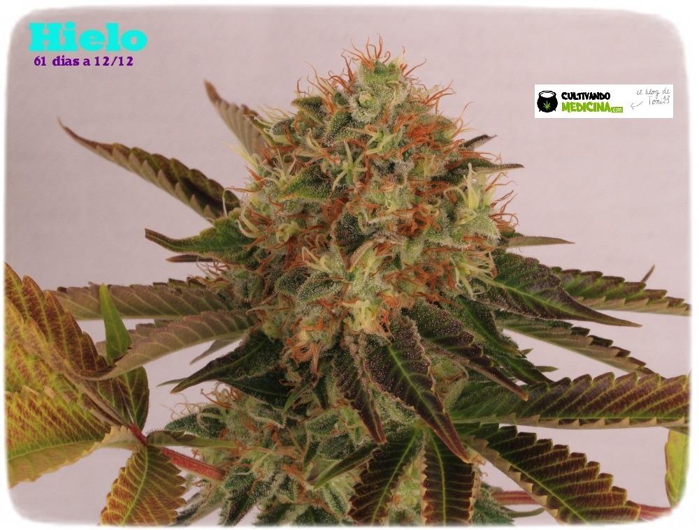 variedades-marihuana-hielo-Venus Genetics-hojas-especiales-6