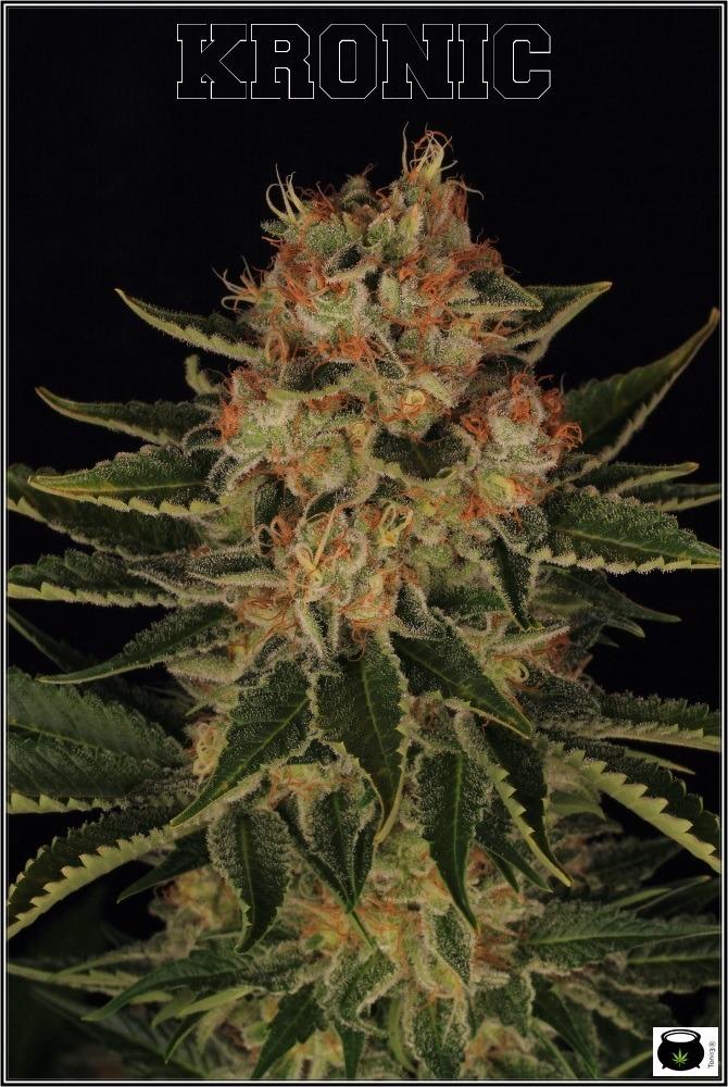 seguimiento-de-marihuana-variedades-Venus-Genetics-8