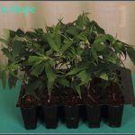 2- Cultivo de marihuana coco y choco: planificación, primeros días de vida