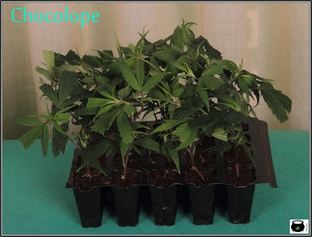 iclone-enraizar-cultivo-de-marihuana