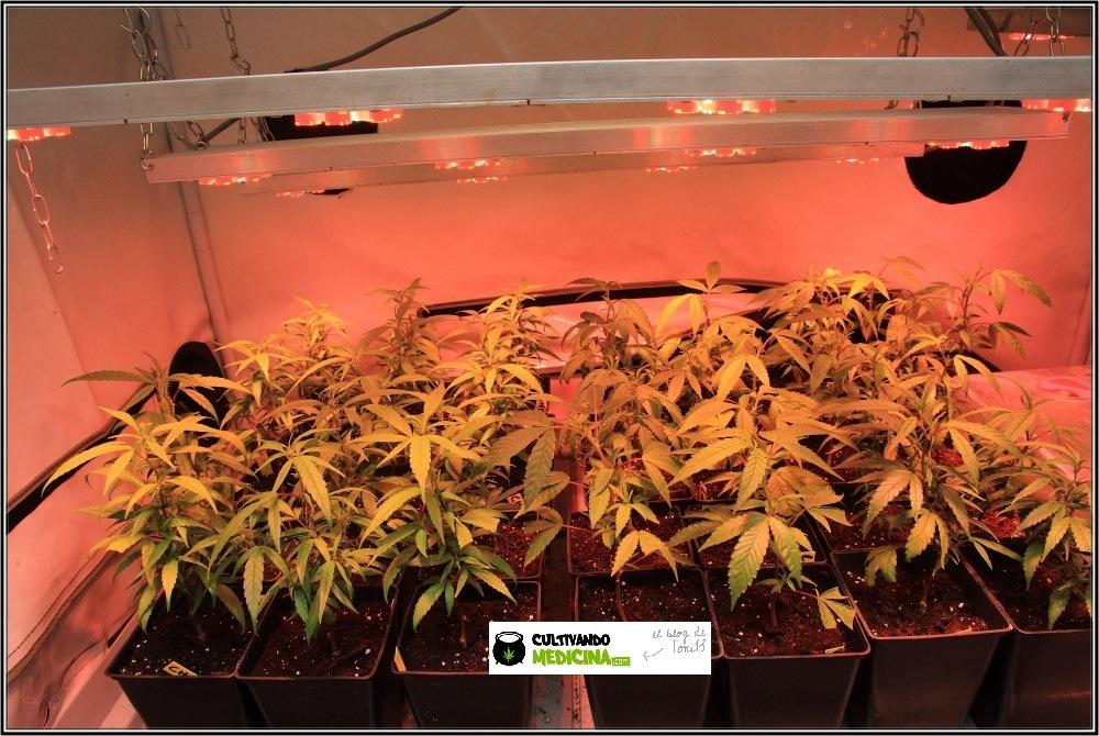 Cultivo-de-marihuana-coco-choco-crecimiento-nutrición-leds-3
