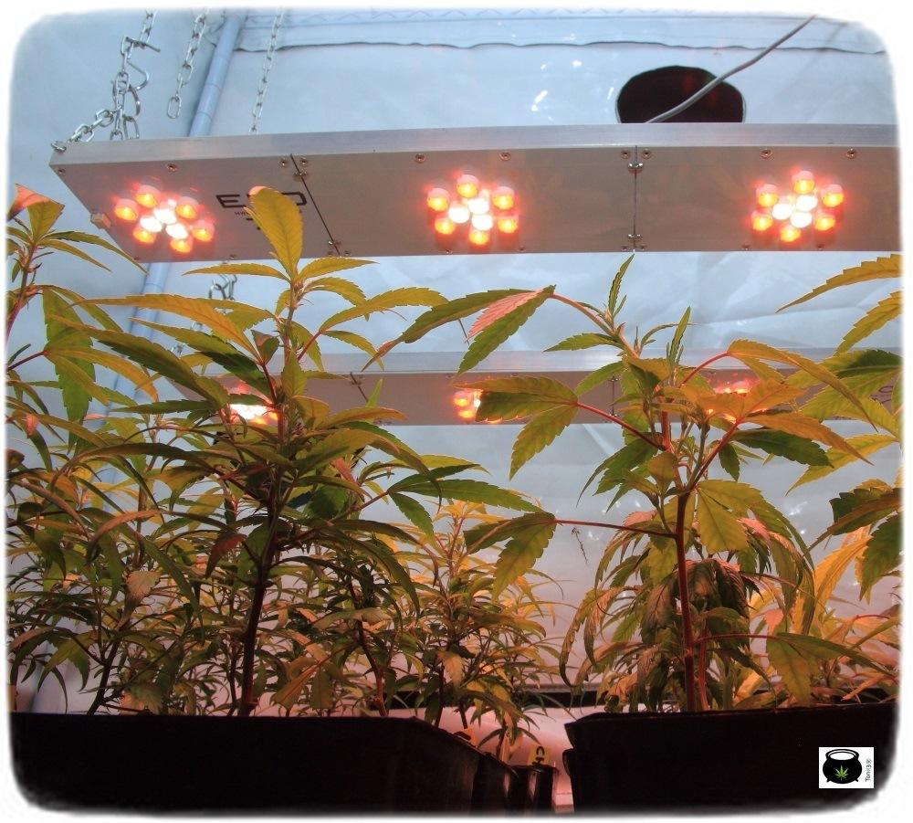 Cultivo-de-marihuana-coco-choco-crecimiento-nutrición-leds-4