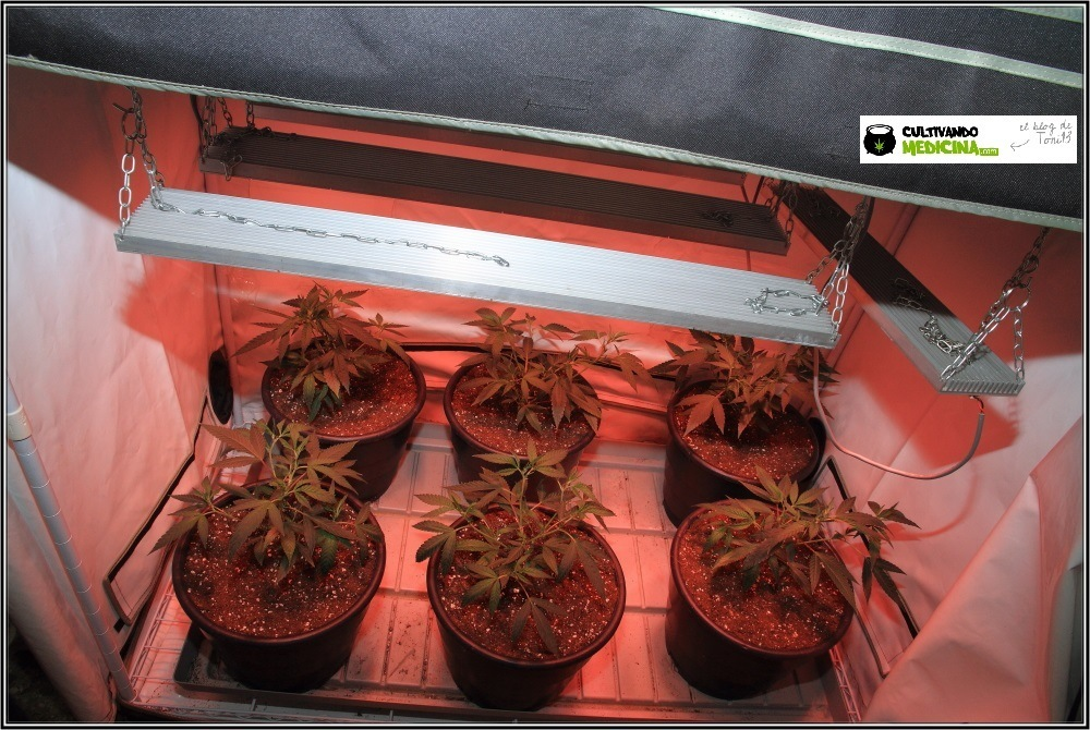 cultivo-marihuana-led-supercropping-2