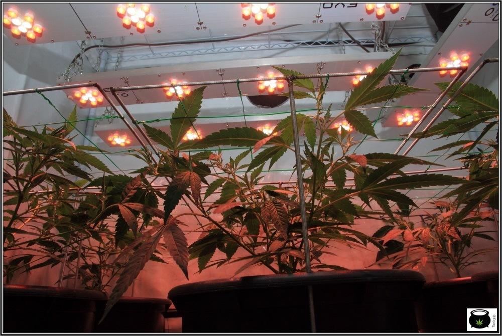 scrog-modular-marihuana-cultivo-2