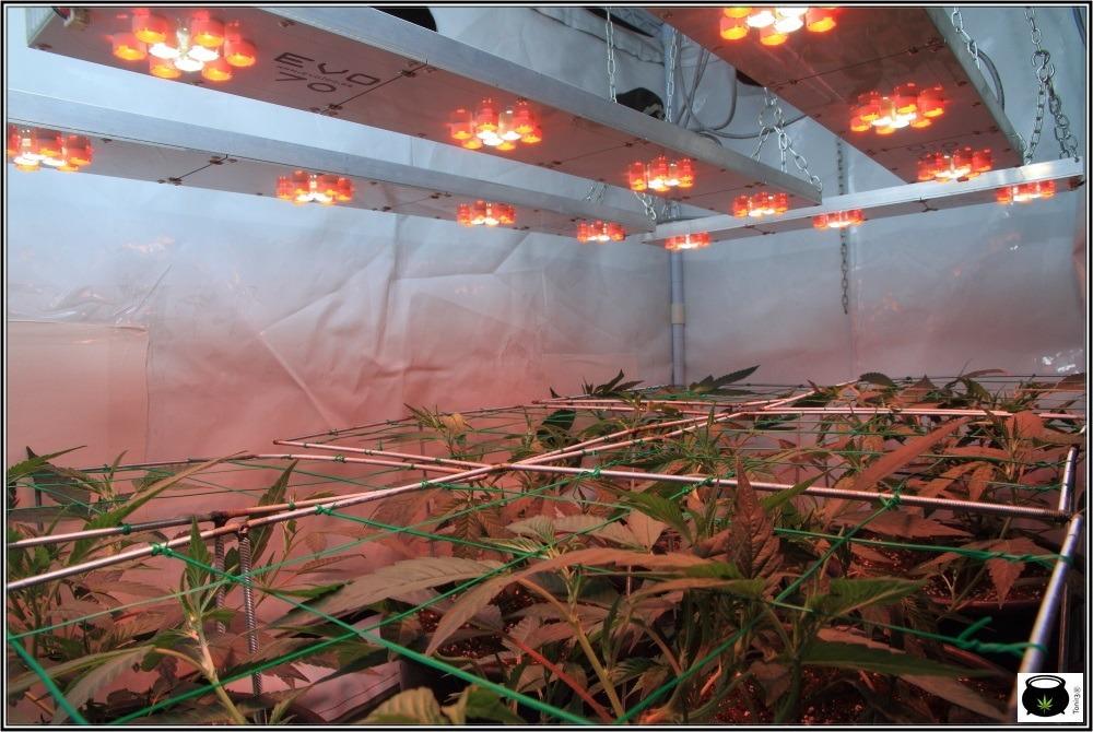 scrog-modular-supercropping-marihuana-cultivo