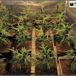 Cultivo de marihuana coco y choco esquejes clones élite: Comienza Floración