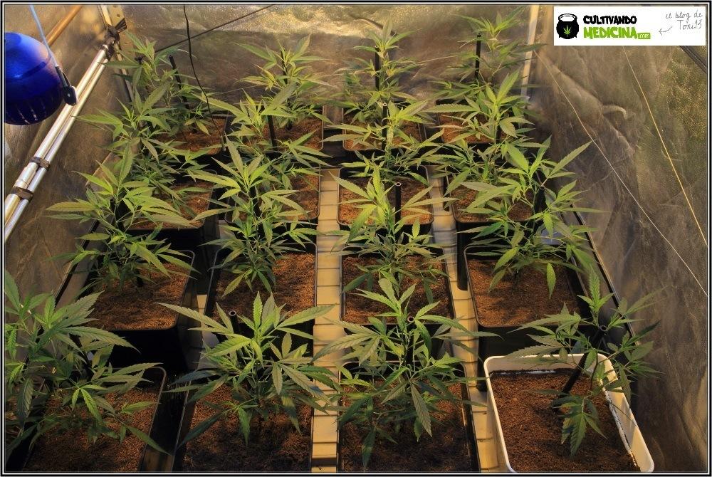 Cultivo-de-marihuana-coco-choco-comienza-Floración-1