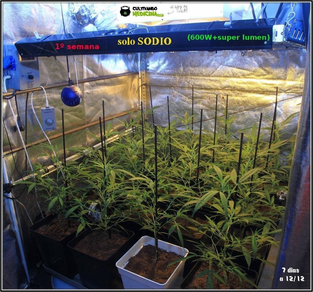 Cultivo-de-marihuana-coco-choco-Primera-semana-a-12/12
