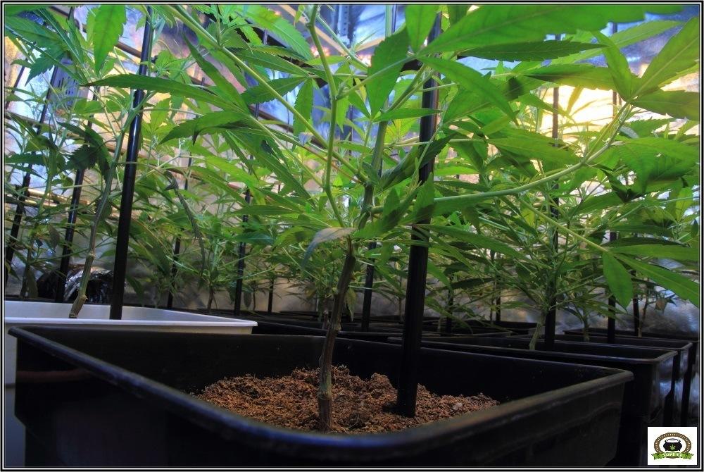 Cultivo-marihuana-coco-choco-Primera-semana-a-12/12-4