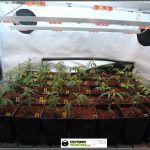 3- Cultivo de marihuana coco y choco: crecimiento y nutrición de esquejes