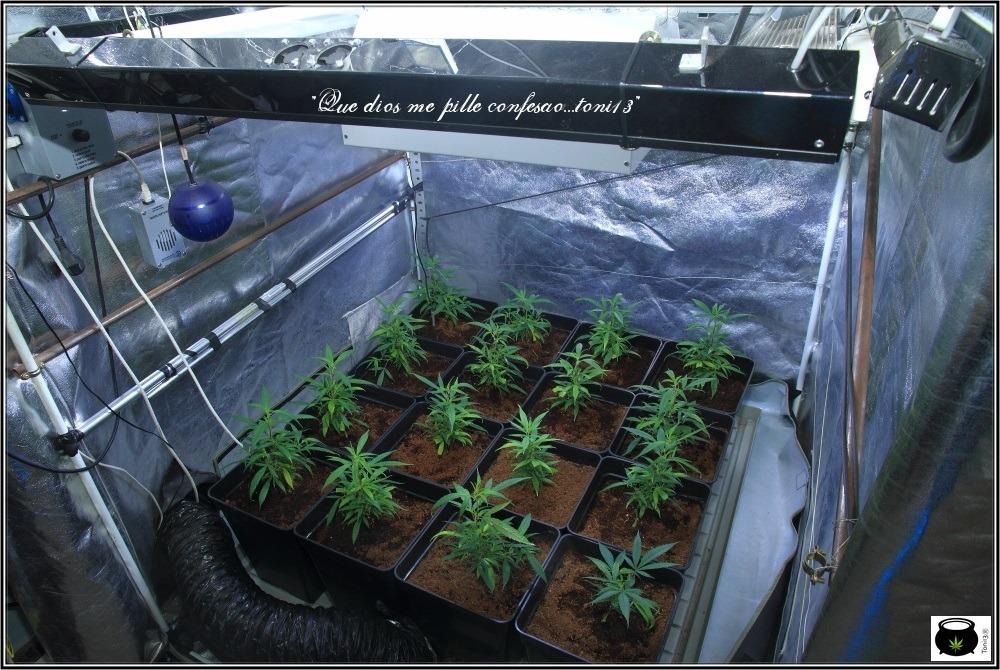seguimiento-marihuana-coco-choco-fase-crecimiento-3