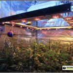 8- Cultivo de marihuana coco y choco esquejes: tercera semana floración