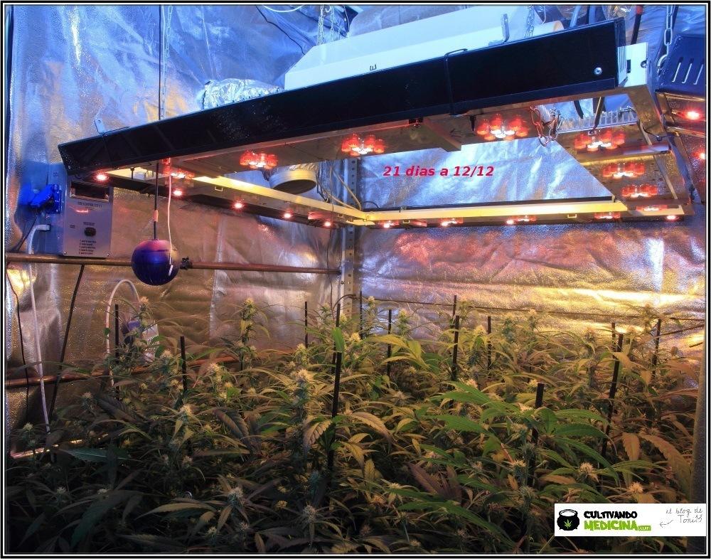 Cultivo de marihuana coco y choco tercera semana floracion-1