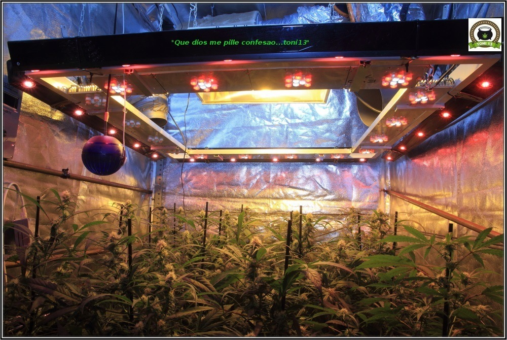Cultivo de marihuana coco y choco: tercera semana floración-3