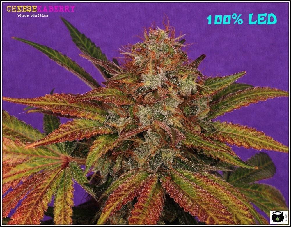 LED-siglo-XXI-cogollo-marihuana-4