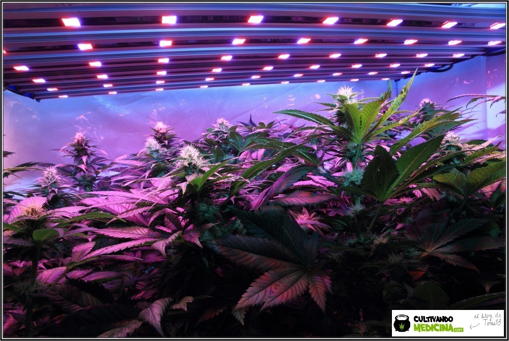 Luminaria LED con plantas de marihuana en floración