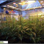7- Cultivo de marihuana coco y choco esquejes: segunda semana a 12/12