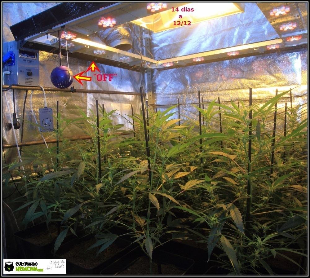 Cultivo de marihuana coco y choco: segunda semana a 12/12-floracion-1