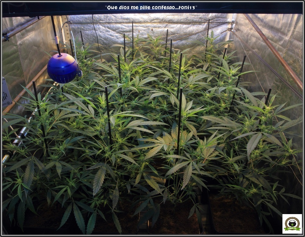 Cultivo de marihuana coco y choco: segunda semana a 12/12-vista-general-frontal