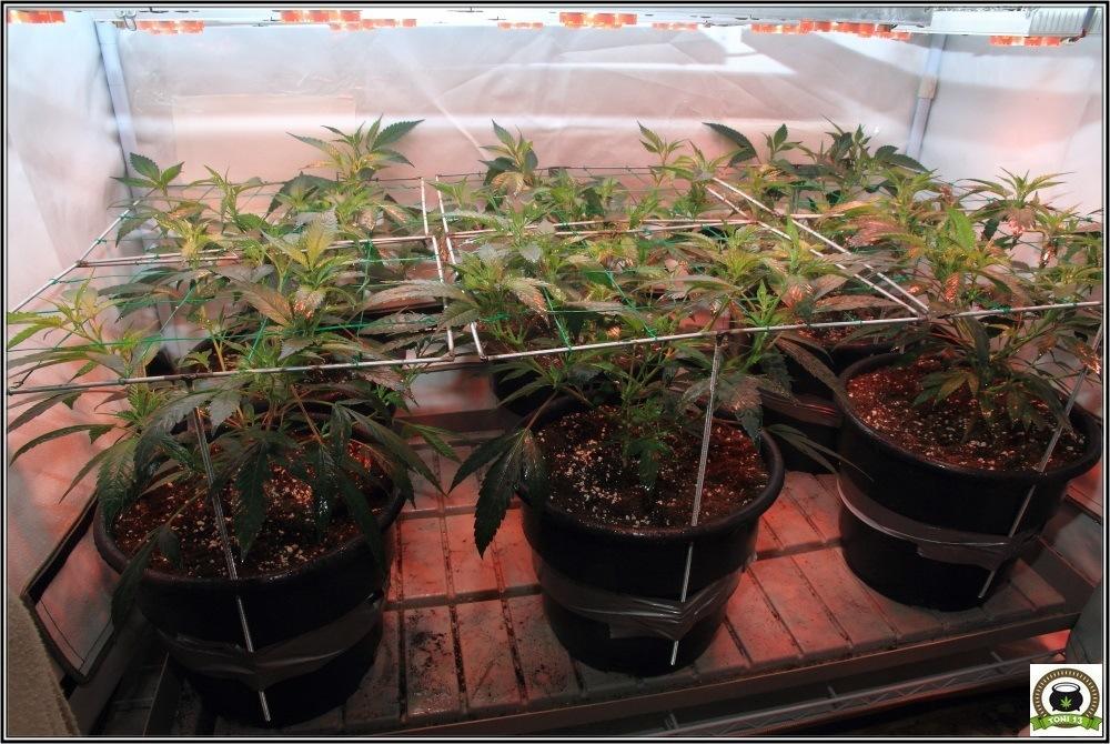 Llenando la malla SCROG modular marihuana