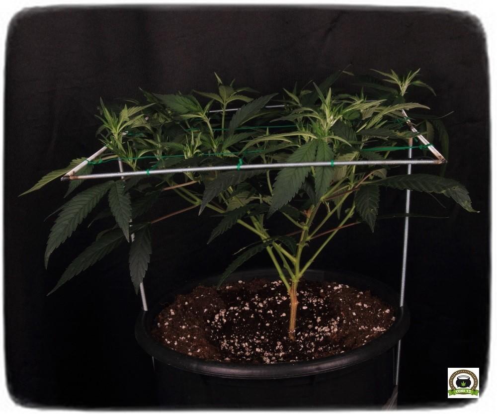 Llenando la malla SCROG modular marihuana, paso a floración-4