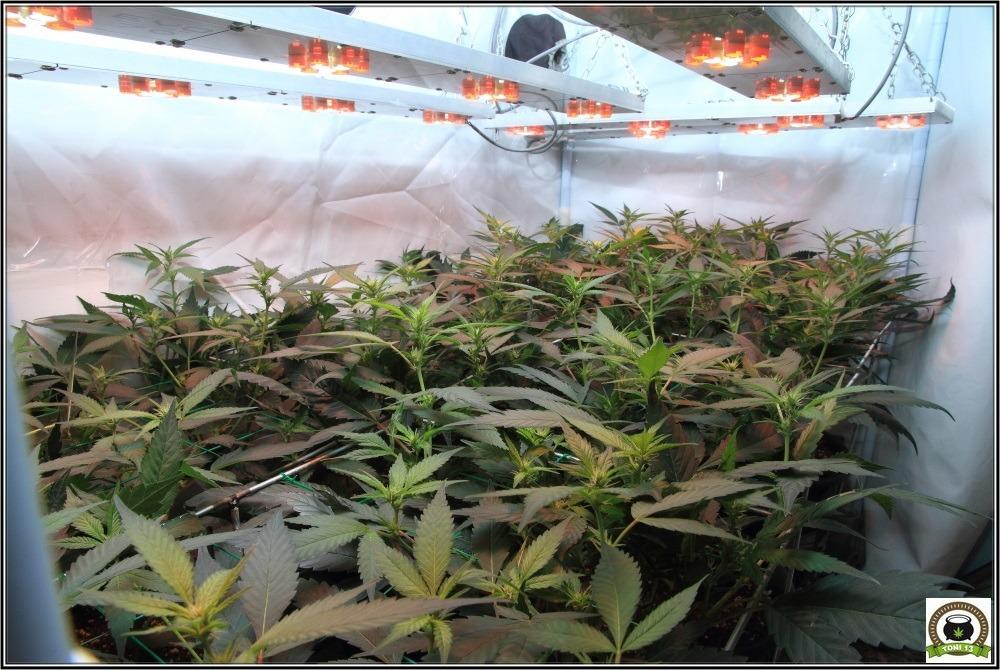 scrog-modular-marihuana-floracion-biobizz