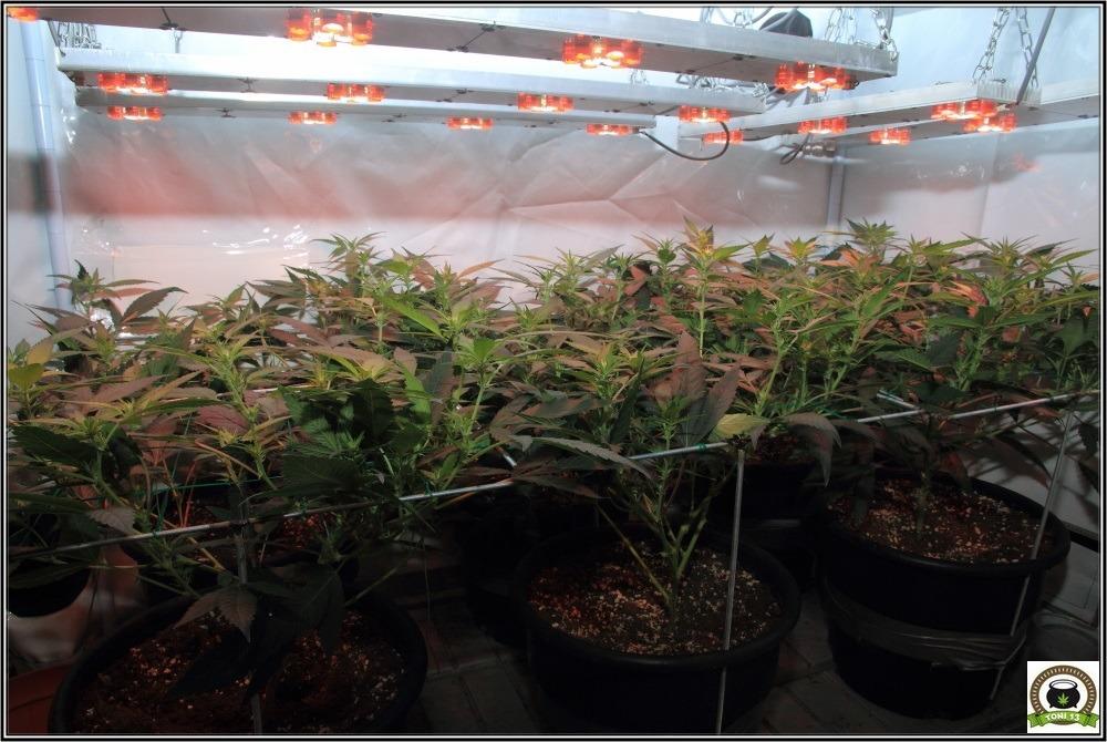 scrog-modular-cultivo-marihuana-led-2