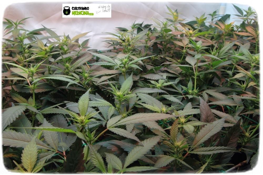 manto-verde-scrog-modular-cannabis