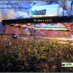 9- Cultivo de marihuana coco y choco de esquejes: cuarta semana a 12/12