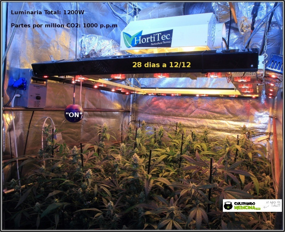cultivo-de-marihuana-coco-choco-cuarta-semana-a-12-12-1