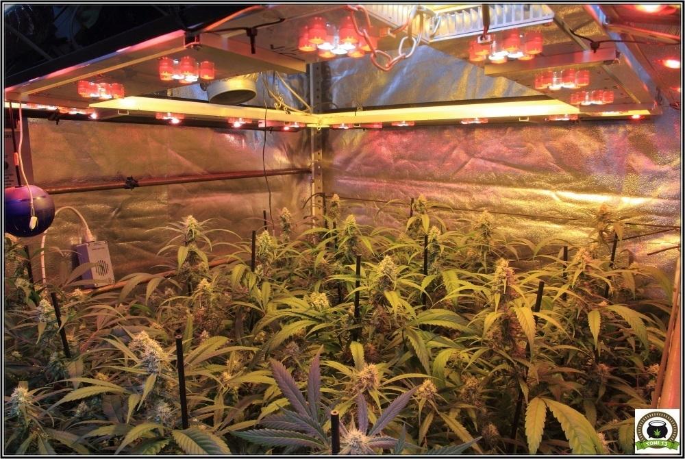 cultivo-de-marihuana-coco-choco-cuarta-semana-a-12-12-2-vista-leds-inclinados