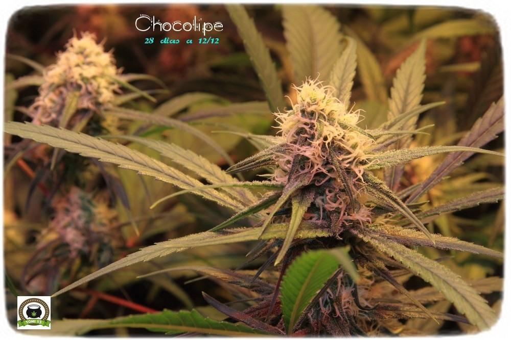 cultivo-de-marihuana-coco-choco-cuarta-semana-a-12-12-2-cogollos-tricomas