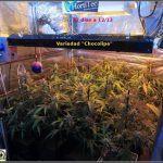 10- Cultivo de marihuana coco y choco: 37 días a 12/12, Chocolipe, Supersónica