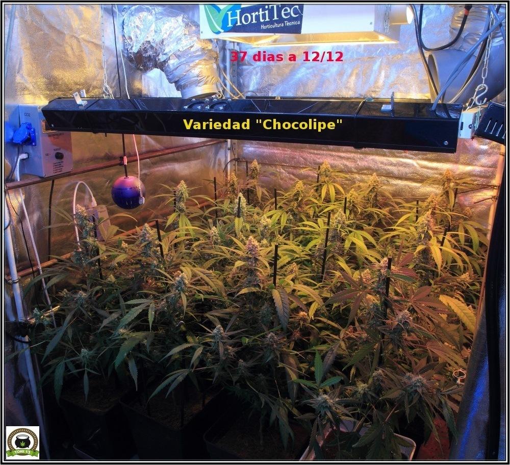 cultivo-de-marihuana-coco-y-choco-cuarta-semana-floracion-vista-general