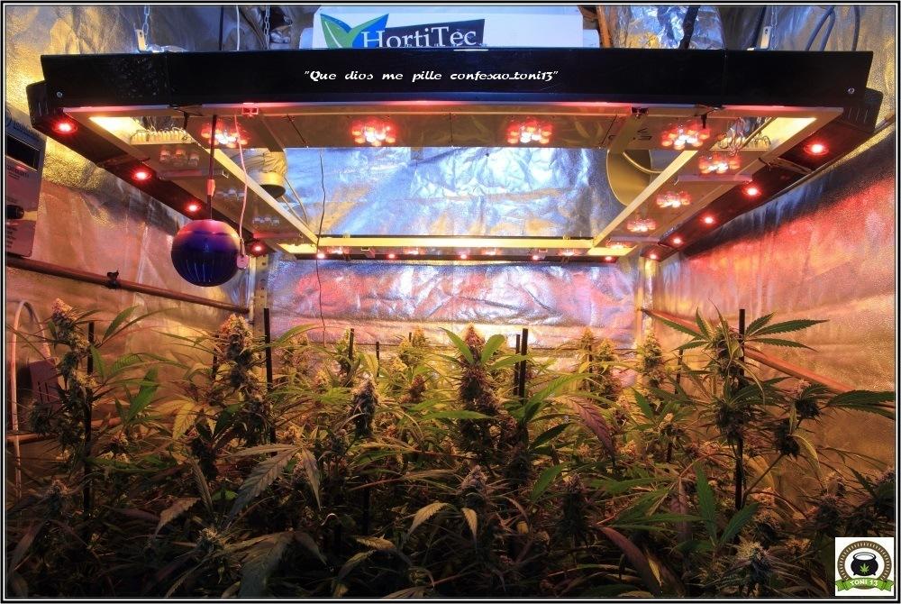 cultivo-de-marihuana-coco-y-choco-cuarta-semana-floracion-vista-general-sodio-led