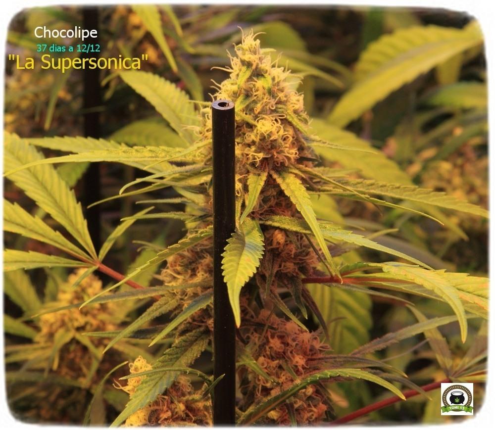 marihuana- cogollo-chocolope