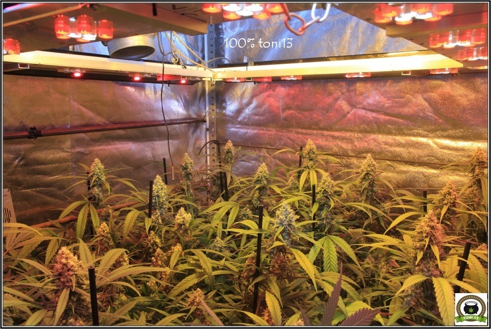 """Cultivo de marihuana coco y choco: 37 días a 12/12, Chocolipe """"La Supersonica""""-1"""
