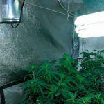 Cultivos del Siglo XXI, como clonar o hacer esquejes de marihuana