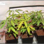 2- Plan de nutrición y primeros días de vida de las plantas de marihuana